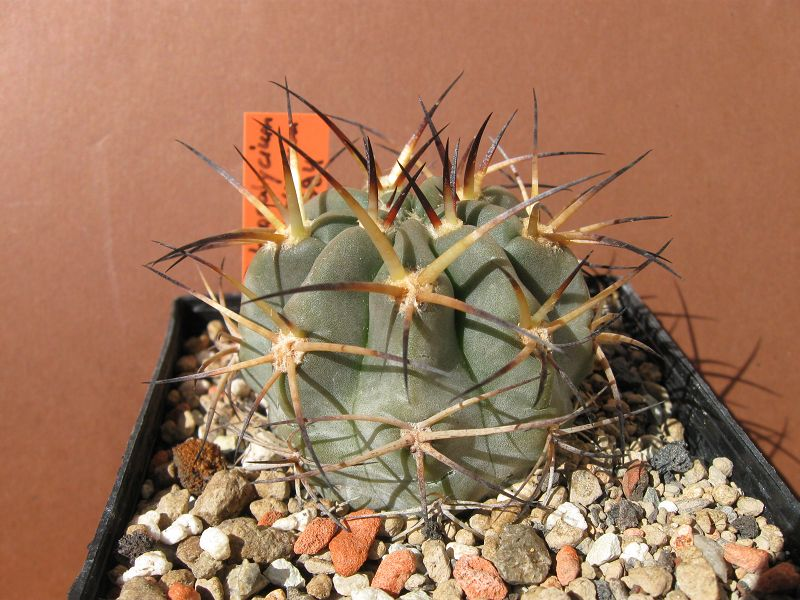 Acanthocalycium glaucum var. glaucum Glaucu10