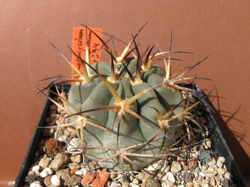 Acanthocalycium glaucum var. glaucum Glaucu11