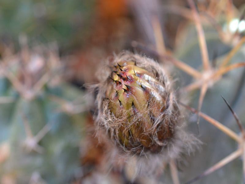 Acanthocalycium glaucum var. glaucum Glaucu12
