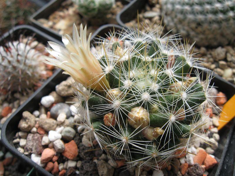 Mammillaria viereckii Mai_2033