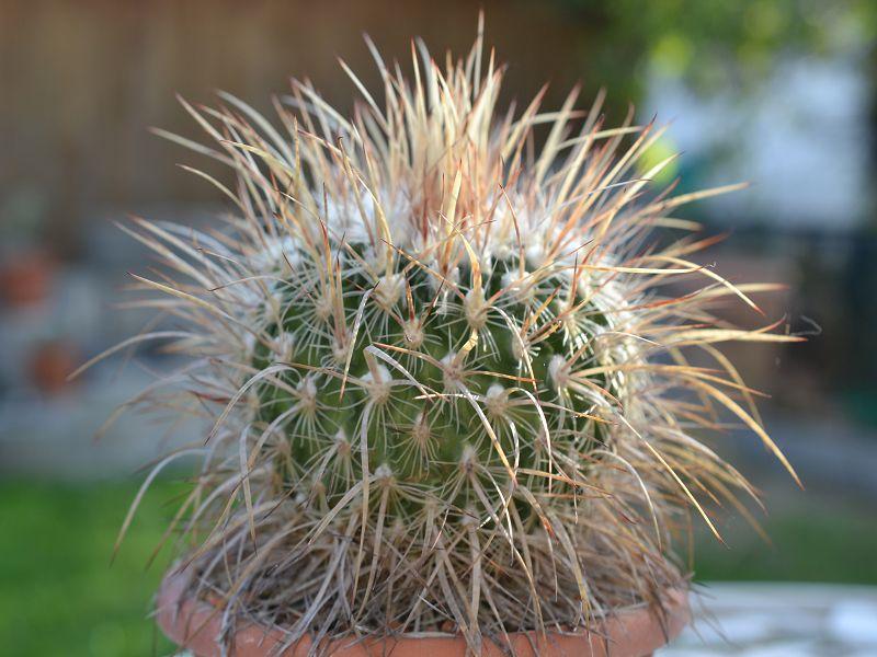 Echinofossulocactus wippermanii Oktobe16