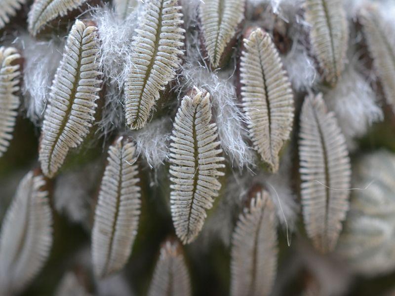 Pelecyphora aselliformis Oktobe25