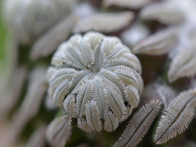 Pelecyphora aselliformis Oktobe26
