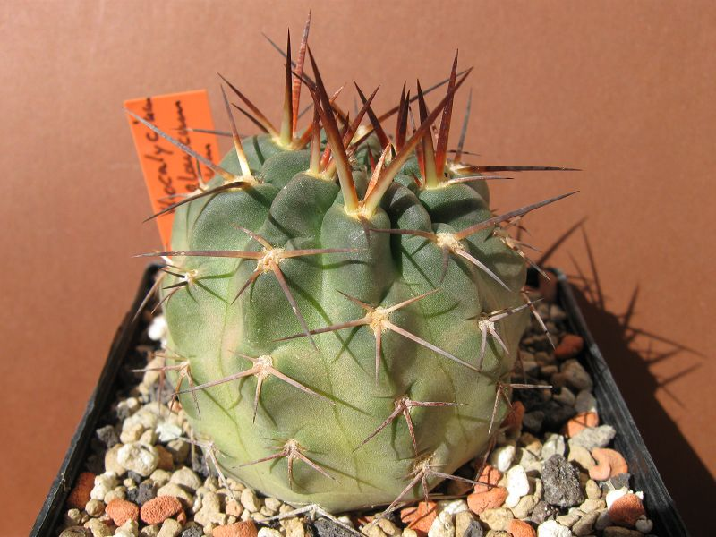 Acanthocalycium glaucum var. rubriflorum Rubrif10