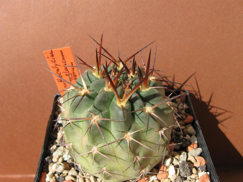 Acanthocalycium glaucum var. rubriflorum Rubrif11