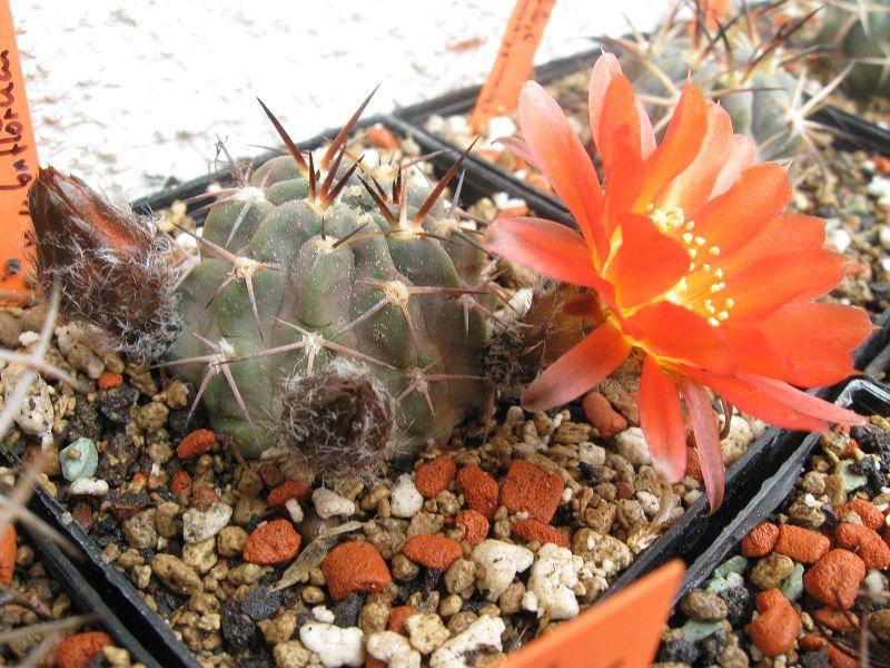 Acanthocalycium glaucum var. rubriflorum Rubrif12
