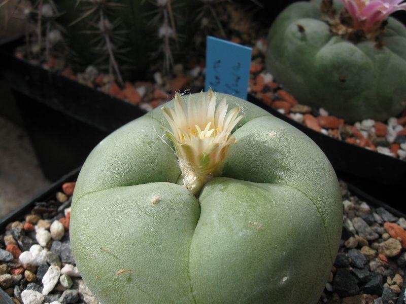Lophophora diffusa Septe103