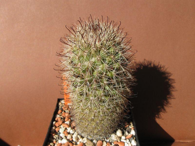 Mammillaria angelensis var. estebanensis Septem29