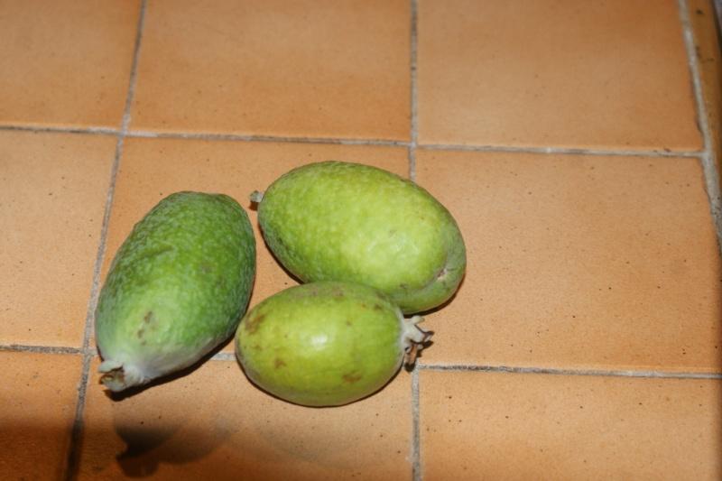 Feijoa, goyavier du Brésil - Page 4 Fejoia10