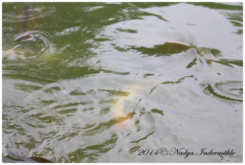 Les poissons de nos bassins Cadre104