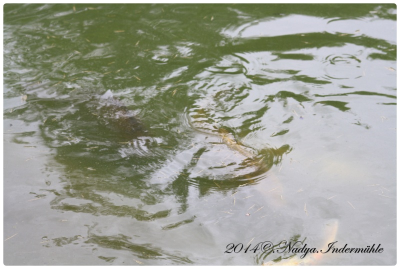 Les poissons de nos bassins Cadre105