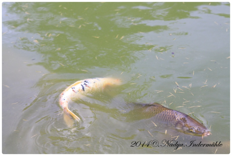 Les poissons de nos bassins Cadre106