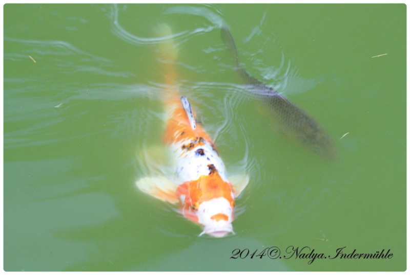 Les poissons de nos bassins Cadre111