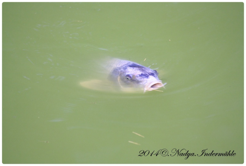 Les poissons de nos bassins Cadre112