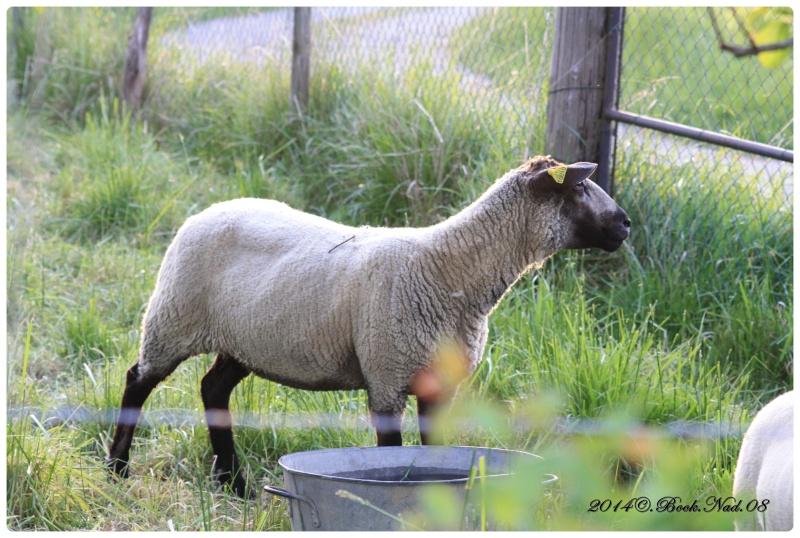 Les chèvres, les biques, les moutons. Cadre133