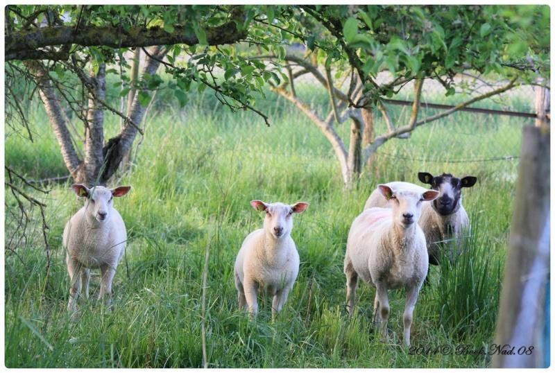Les chèvres, les biques, les moutons. Cadre134
