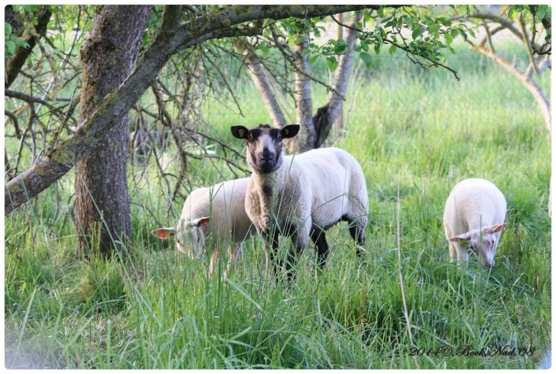 Les chèvres, les biques, les moutons. Cadre135