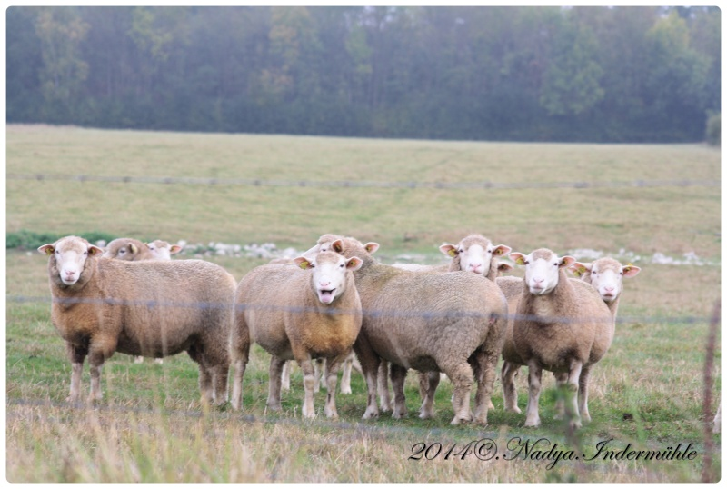 Les chèvres, les biques, les moutons. Cadre136