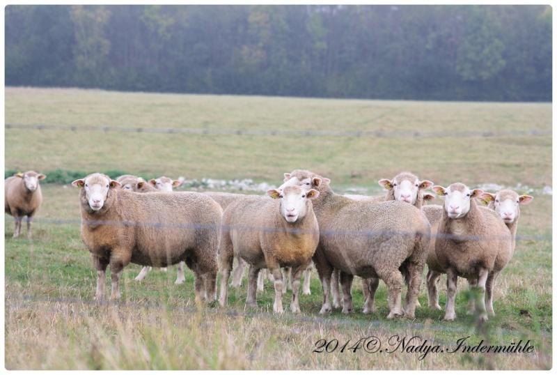 Les chèvres, les biques, les moutons. Cadre137