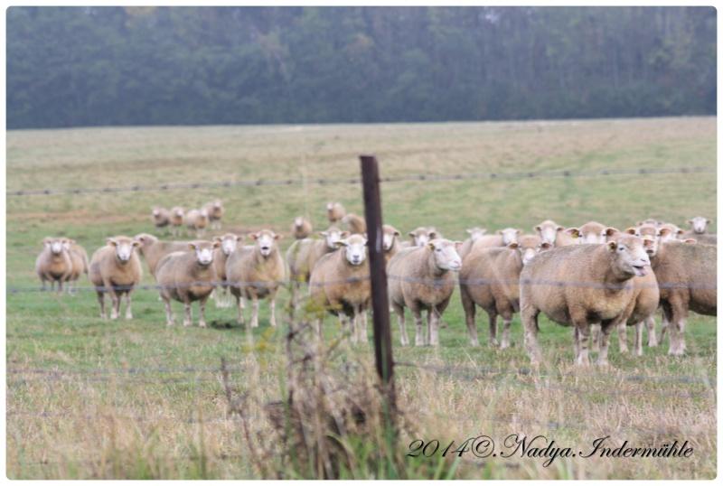 Les chèvres, les biques, les moutons. Cadre138