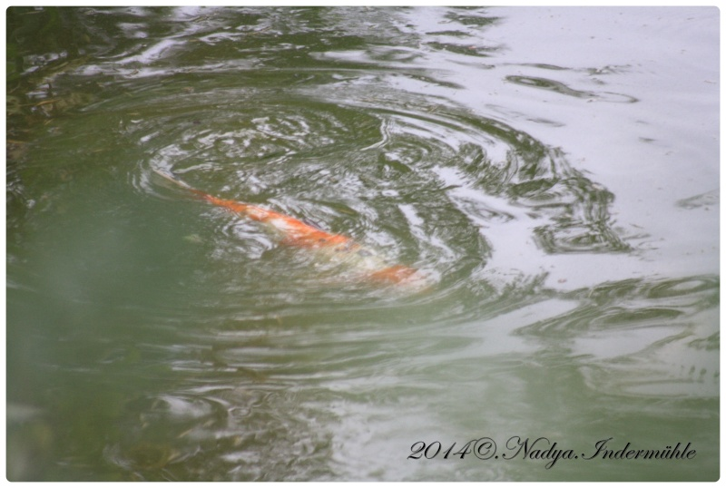 Les poissons de nos bassins Cadre244