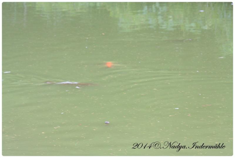 Les poissons de nos bassins Cadre245