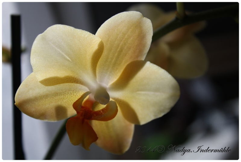 Les Orchidées - Page 2 Cadre266