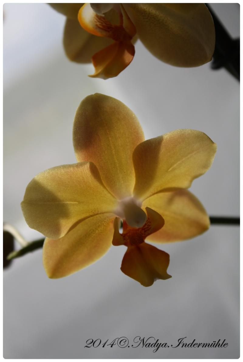 Les Orchidées - Page 2 Cadre267