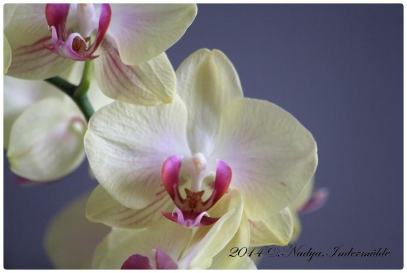 Les Orchidées - Page 2 Cadre269