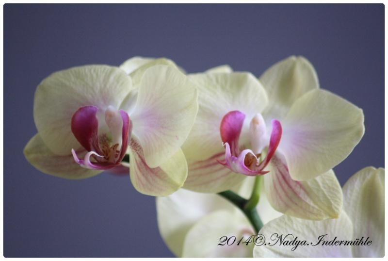 Les Orchidées - Page 2 Cadre270