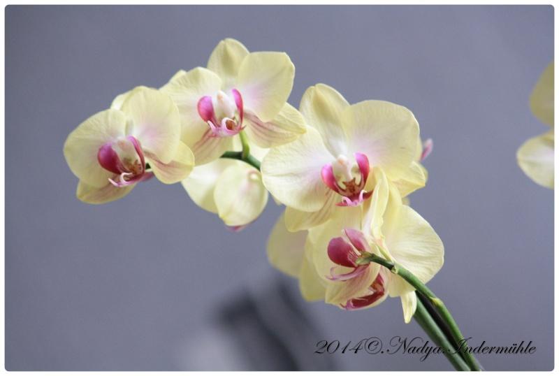 Les Orchidées - Page 2 Cadre271