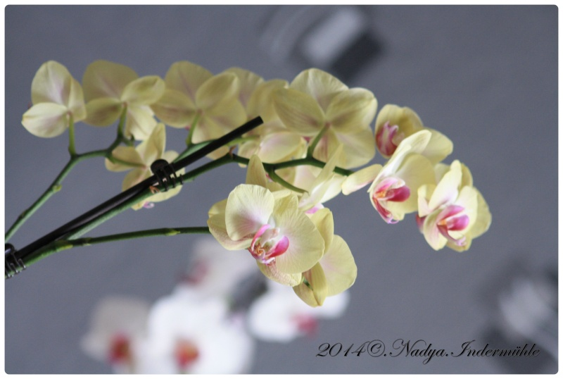 Les Orchidées - Page 2 Cadre272