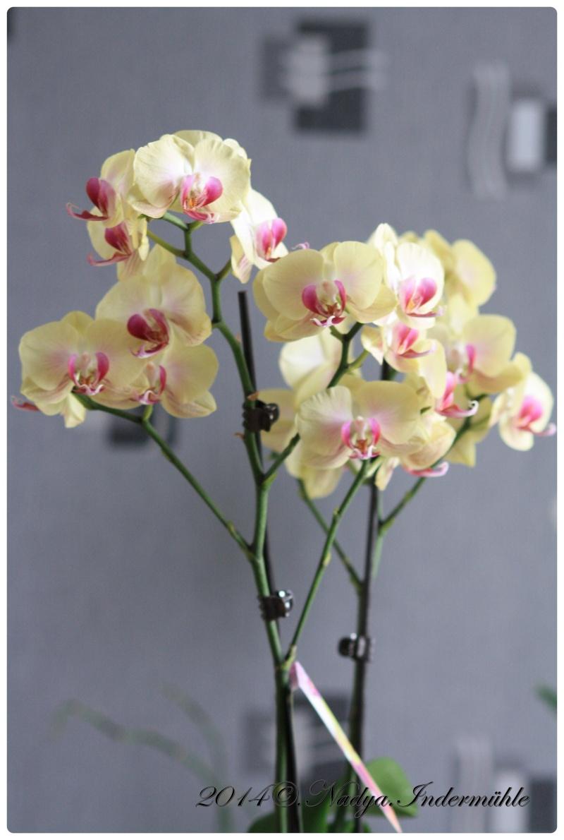 Les Orchidées - Page 2 Cadre273