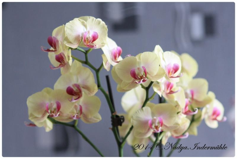 Les Orchidées - Page 2 Cadre274