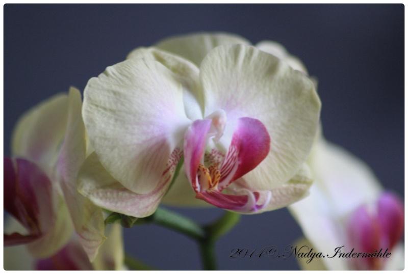 Les Orchidées Cadre275