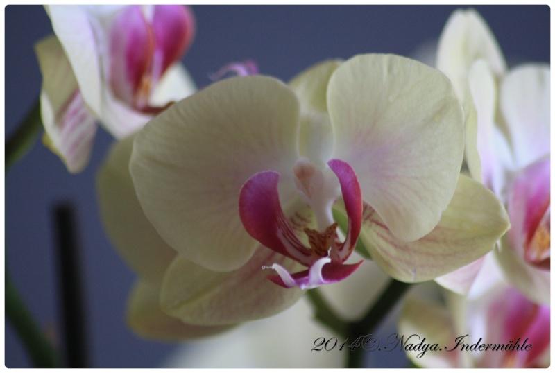 Les Orchidées Cadre276