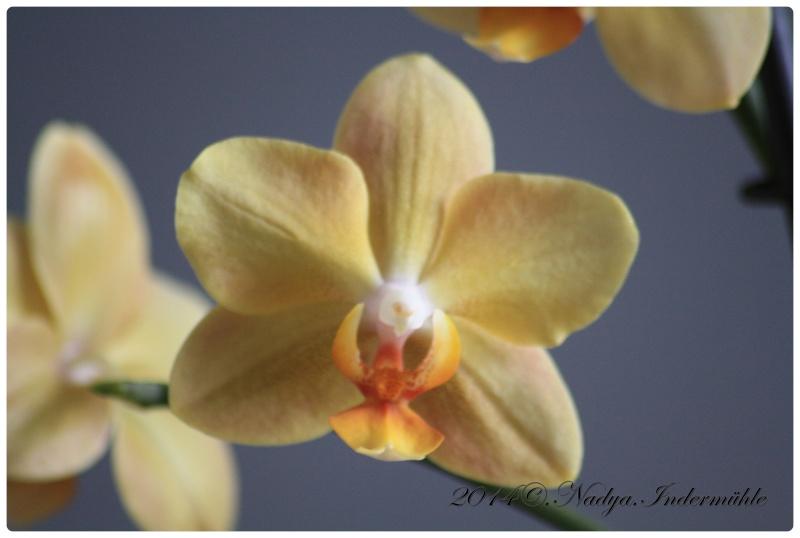 Les Orchidées Cadre277
