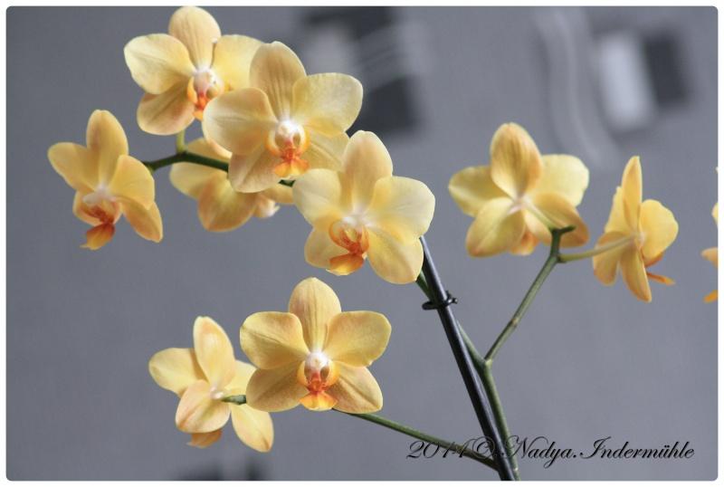 Les Orchidées Cadre278