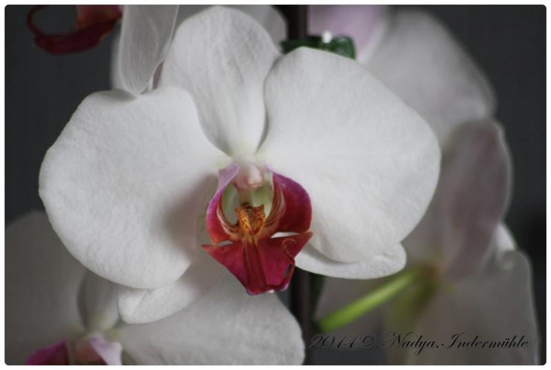 Les Orchidées - Page 2 Cadre279