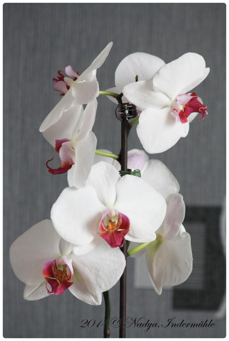 Les Orchidées Cadre281