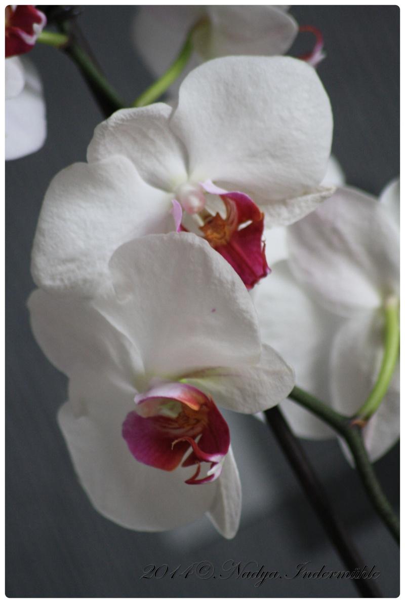 Les Orchidées Cadre282