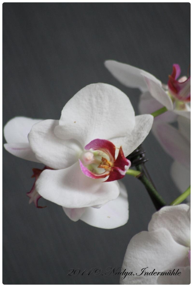 Les Orchidées Cadre283