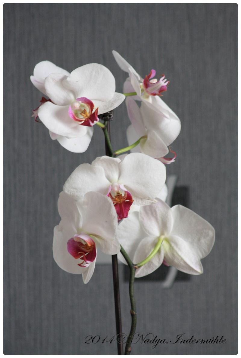 Les Orchidées Cadre284
