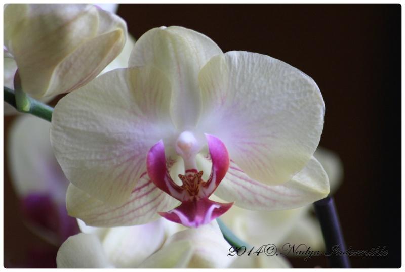 Les Orchidées Cadre285