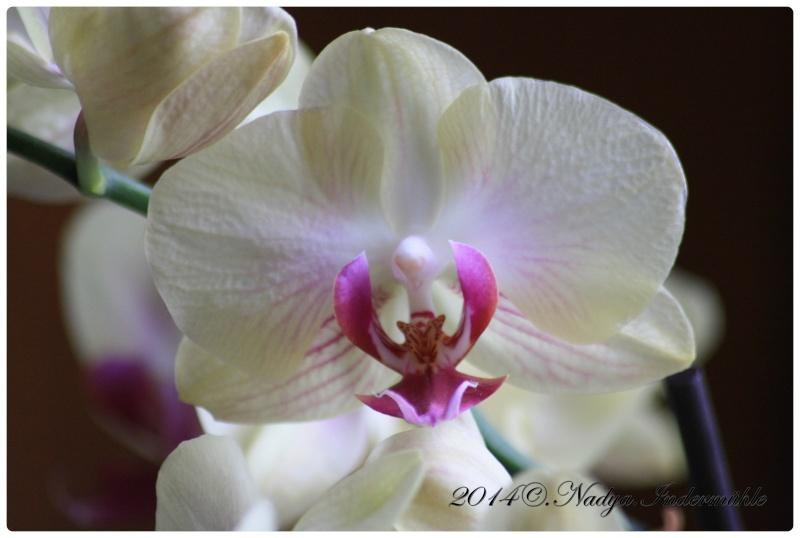 Les Orchidées Cadre286