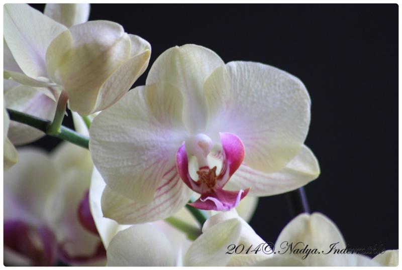 Les Orchidées Cadre287