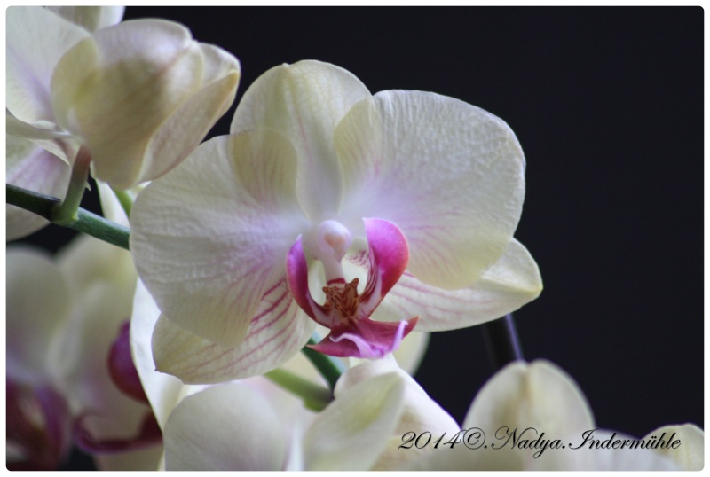 Les Orchidées Cadre288