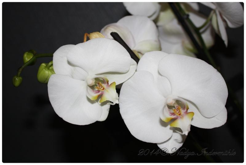 Les Orchidées - Page 2 Cadre289