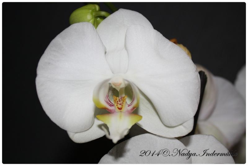 Les Orchidées - Page 2 Cadre290