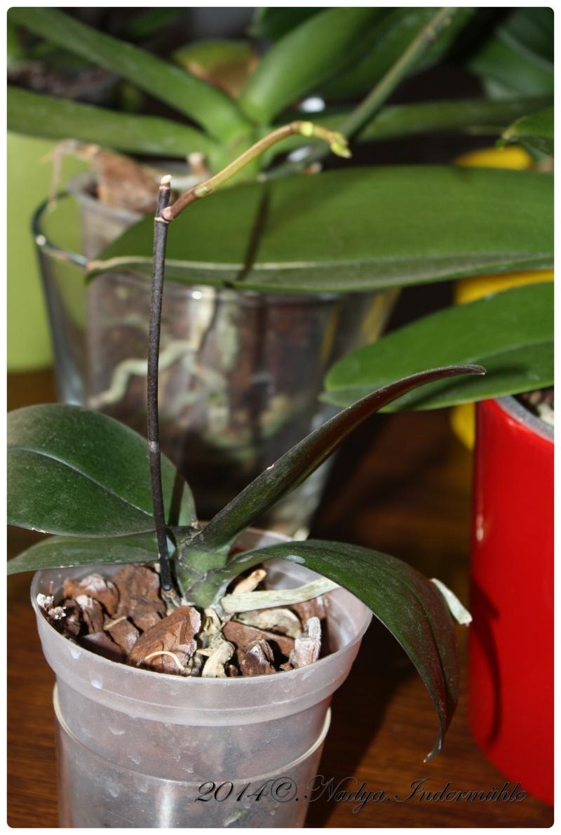 Les Orchidées Cadre297